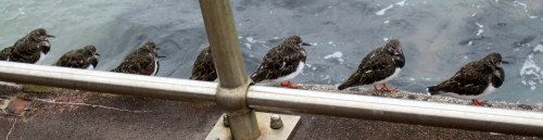 turnstones in a row