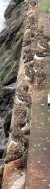 turnstone camouflaged